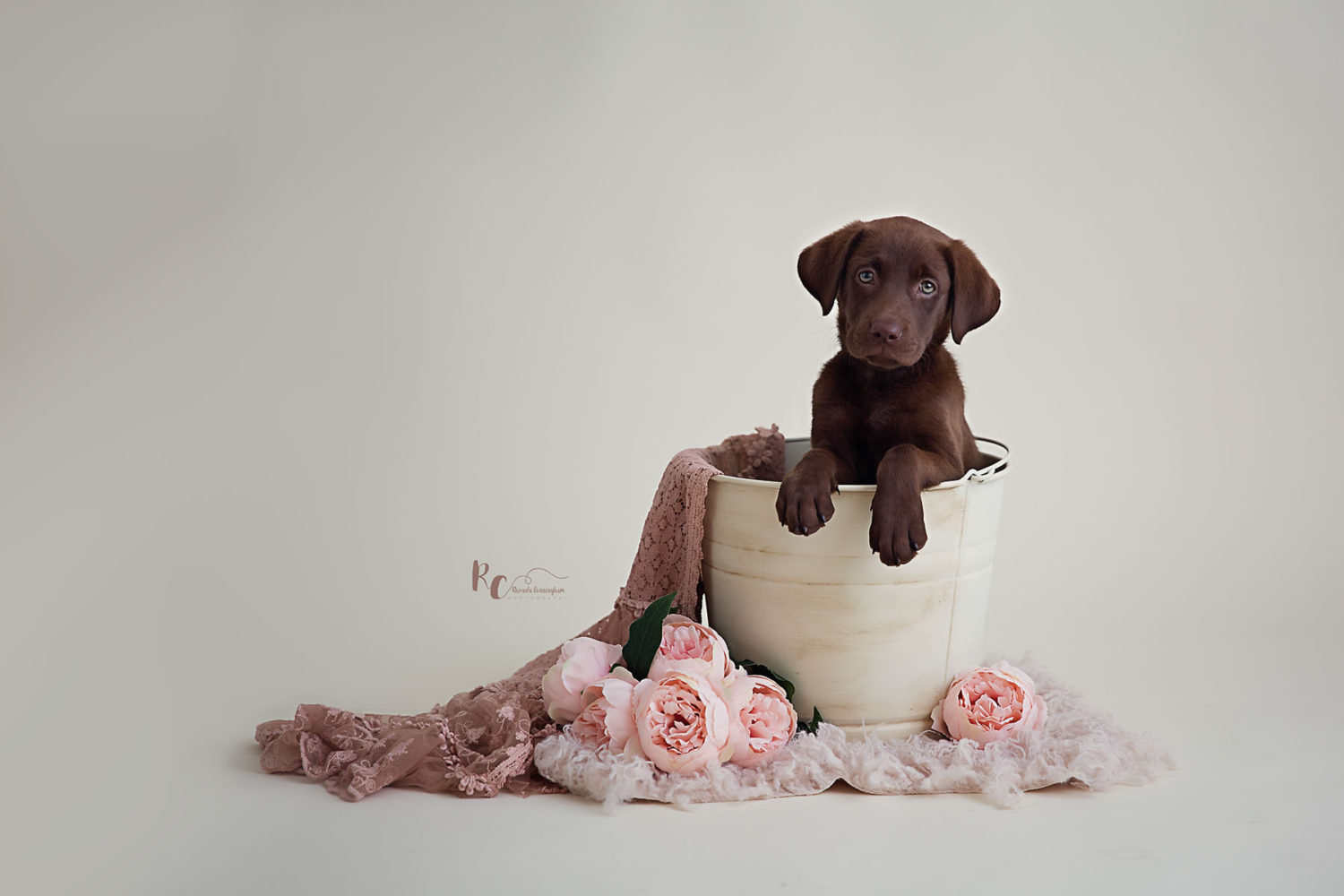 Chocolate lab puppy in a distressed bucket captured by Rhonda Cunningham Photography, a Pet Photographer in central ky
